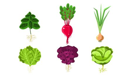 Vegetables With Leaves and Roots Set, Lettuce, Beetroot, Onion, Cabbage, Radish Vector Illustration