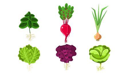 Verduras con hojas y raíces, lechuga, remolacha, cebolla, repollo, rábano ilustración vectorial Ilustración de vector