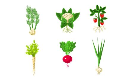 Vegetables With Leaves and Roots Set, Strawberry, Parsley, Onion, Radish, Fennel Vector Illustration Ilustração
