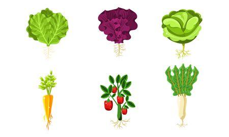 Verduras con hojas y raíces, lechuga, zanahoria, tomate, repollo, nabo, alimentos orgánicos saludables ilustración vectorial