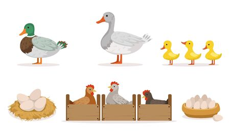 Poultry Farm With Hens, Ducks And Gooses. Eggs And Ducklings Vector Illustration Set Isolated On White Background Imagens - 133580656