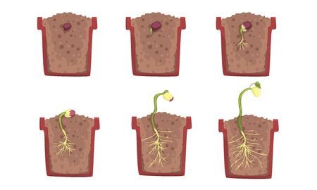 Bean seed germination stages with a pot. Vector illustration.