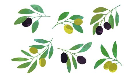 Olive Tree Branches Collection, Eco Healthy Organic Product Vector Illustration Vector Illustration
