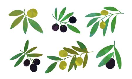 Olive Tree Branches with Green and Black Olives Collection, Eco Healthy Organic Product Vector Illustration Vector Illustration on White Background. Ilustracja