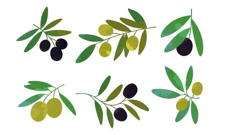 Olive Tree Branches with Green and Black Olives Collection, Healthy Organic Product Vector Illustration Vector Illustration on White Background.