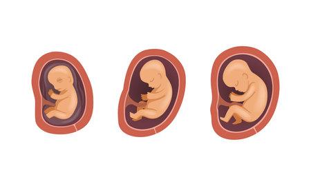 Process of Fetal Development or Embryological Stage Vector Set