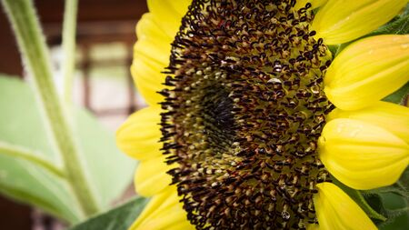 Sunflower Stock Photo - 17058165