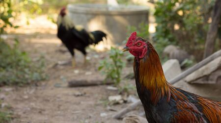 Gallinas photo
