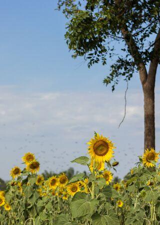 Sunflower Stock Photo - 17240782