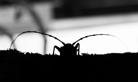cerambycidae: cerambycidae is type insects beetle Stock Photo