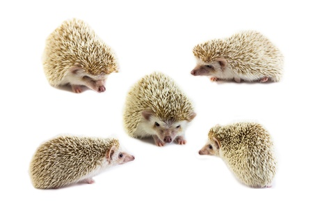 hedgehog is cute pet for home photo