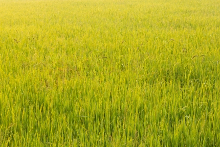Beautiful rice field in Thailand photo