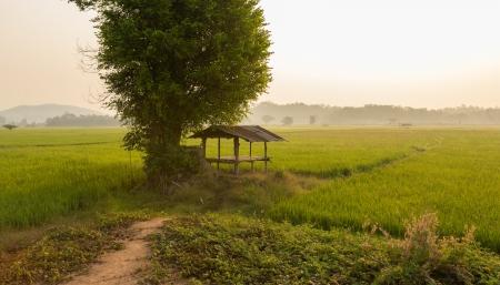 タイの美しいライス フィールド