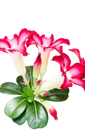 adenium with pink flowers in the morning photo