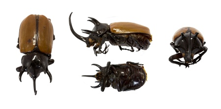 photo of Rhinoceros beetle five horn from thailand photo