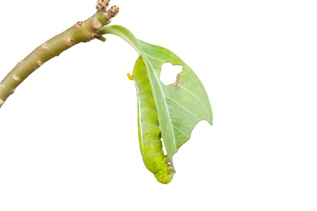clamber: isolato di verme verde sono clamber sul ramo