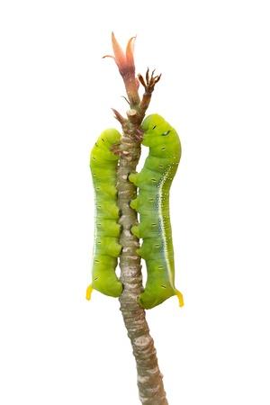 clamber: isolato di verme verde sono arrampicarsi sul ramo Archivio Fotografico