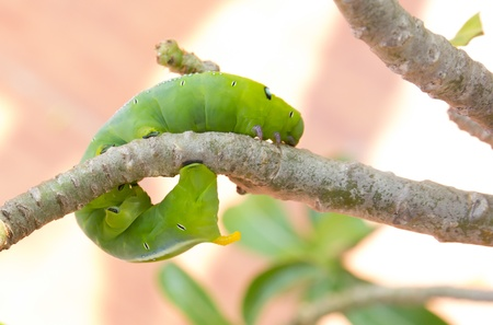 green worm are clamber on branch for eat to leaf photo