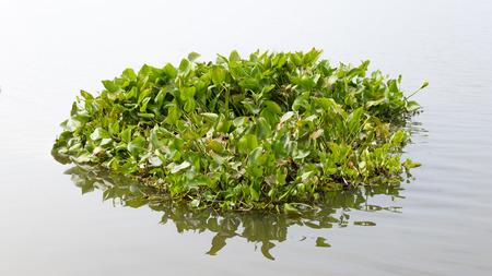 Wasserhyazinthe Schwimmer auf dem Wasser in Fluss