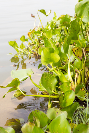 water hyacinth float on water in river photo