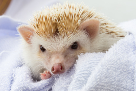 baby hedgehog is cute pet of child on blue blanket photo