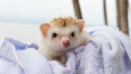 baby hedgehog is cute pet of child on blue blanket photo