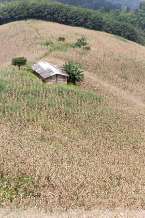 corn farm is dry and ripe for harvest with cottage on slope of mountain photo