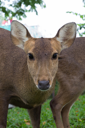the young deer with green grass in nature of the zoo photo