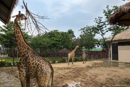 giraffe is animal from africa in the zoo of the thailand photo