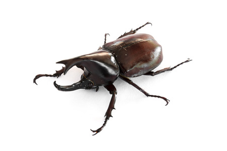 the Xylotrupes gideon on a white background is isolated image photo