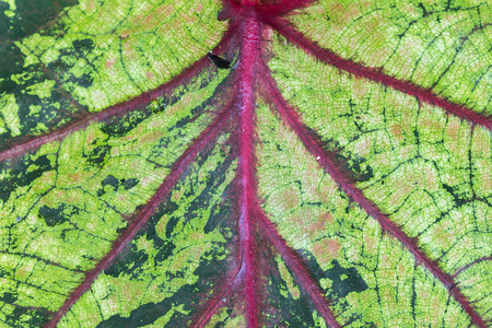 close up to leaves of Caladium have big size photo