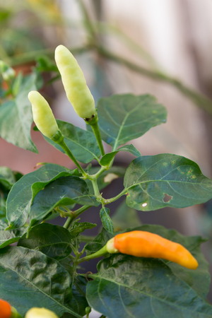 Chilli peppers on the plant photo