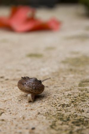 invertebrate: the brown snail is invertebrate animal in nature Stock Photo