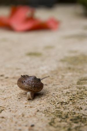 invertebrate: the brown snail is invertebrate animal in nature Stock Photo