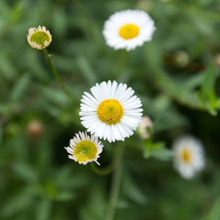 the daisy flower with field in the nature garden photo