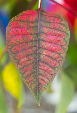 The leaf of poinsettia tree in the garden photo