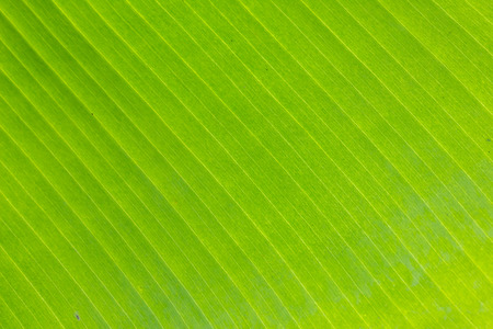 background, texture of banana leaf to close up photo