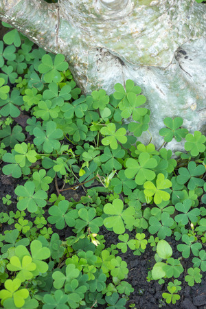 marsilea: the Water clover is green heart leaf in the garden Stock Photo