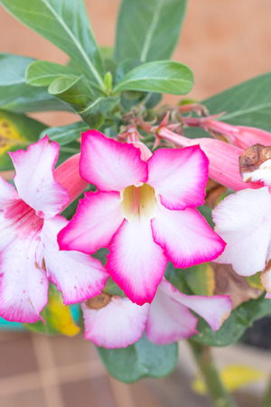 the adenium is pink flowers in the morning photo