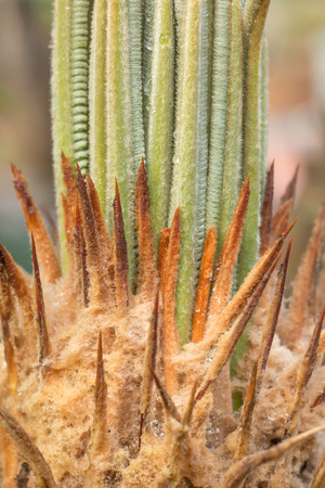 tropical native fern: the leaf fern closeup is new spire in garden Stock Photo