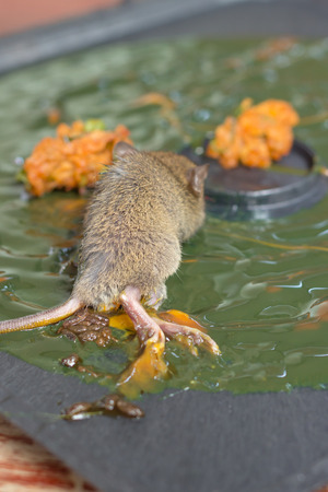 failed plan: the rat is glue stick on the mousetrap