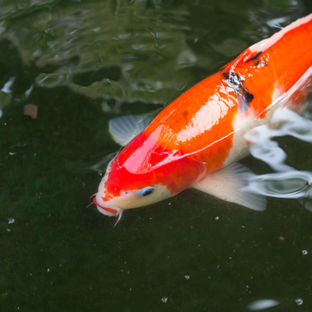 the Fancy carp, koi is beautiful and colorful in the pond photo