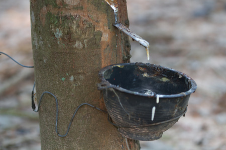 extracted: Field latex extracted from rubber tree(hevea brasiliensis) Stockfoto