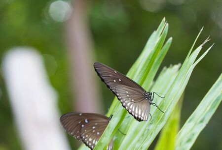 palmy: Black butterfly eat salt lick on leaf of palm.y