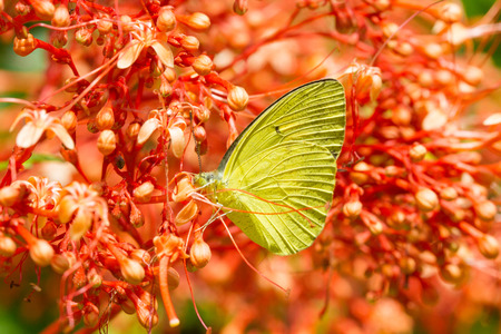 nectar: Yellow butterfly eat nectar of flower