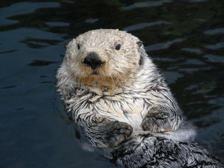 otter: Sea Otter