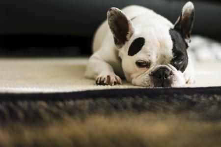 sprawled: French dog forcing himself to keep awake