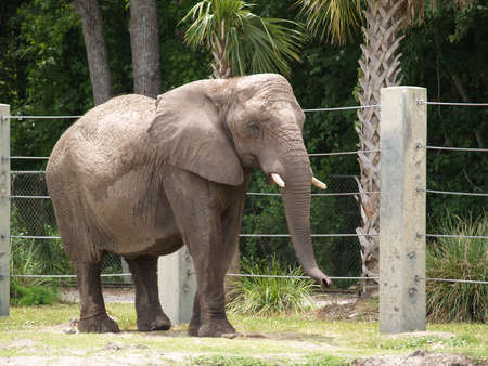 tusks: An Elephant with Tusks at a Zoo