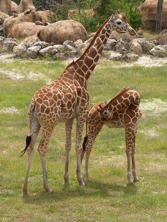 Giraffe at a zoo