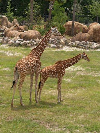 the offspring: Giraffe y descendiente